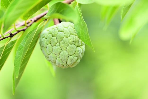 Maçã de açúcar fresco na árvore no jardim frutas tropicais maçã annona sweetsop