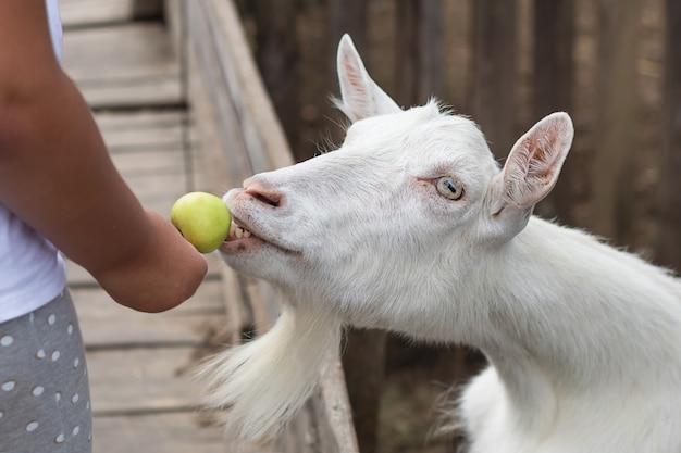 Maçã na mão para alimentar uma cabra branca na fazenda