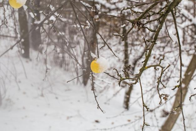 Maçã pesa nos galhos na neve, início do inverno