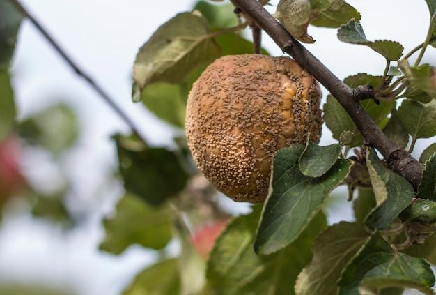 Maçã podre de outono pendurada em uma árvore.
