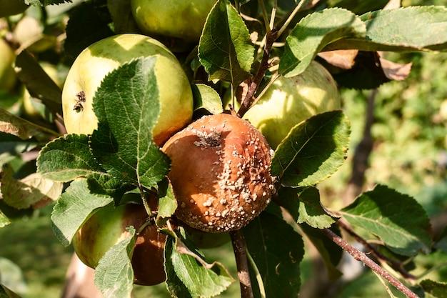 Maçã podre em uma árvore galho de macieira com frutas podres