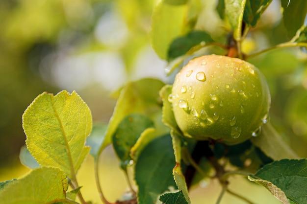 Maçã verde perfeita crescendo em árvore em pomar de maçã orgânica