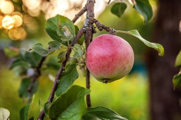 Maçã verde vermelha perfeita crescendo em árvore no pomar de maçã orgânico. opinião da queda do outono no jardim de estilo country. conceito de dieta de bebê vegetariano vegetariano de comida saudável. a horta local produz alimentos limpos.