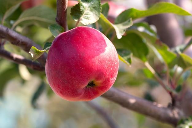 Maçã vermelha madura em uma árvore em um clima ensolarado