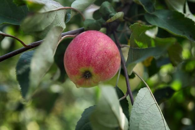 Maçã vermelha madura na árvore. época de colheita. alimentos saudáveis da natureza.
