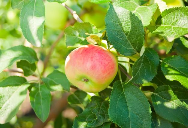 Maçã vermelha madura no ramo de macieira