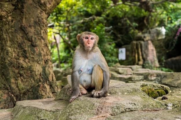 Macaco adulto de rhesus do macaco da cara vermelha no parque natural tropical de hainan, china. macaco atrevido na área de floresta natural. cena da vida selvagem com animal de perigo. macaca mulatta copyspace