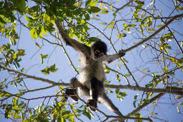 Macaco-aranha marrom pendurado em uma árvore costa rica américa central