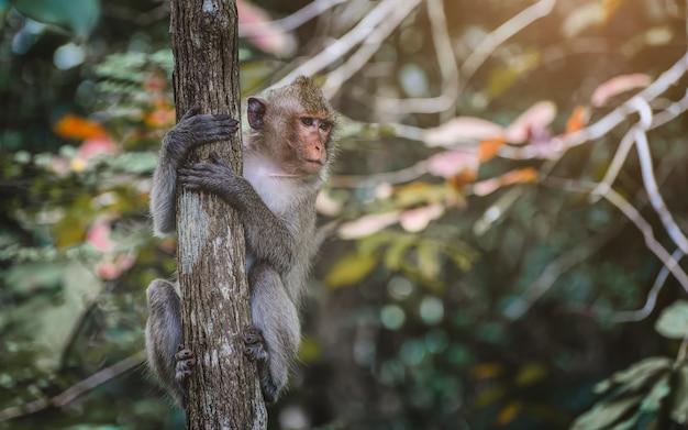 Macaco asiático hanking e olhando para o galho na floresta