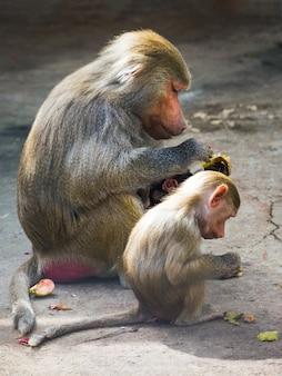 Macaco babuíno hamadryl com bebê comendo vegetais