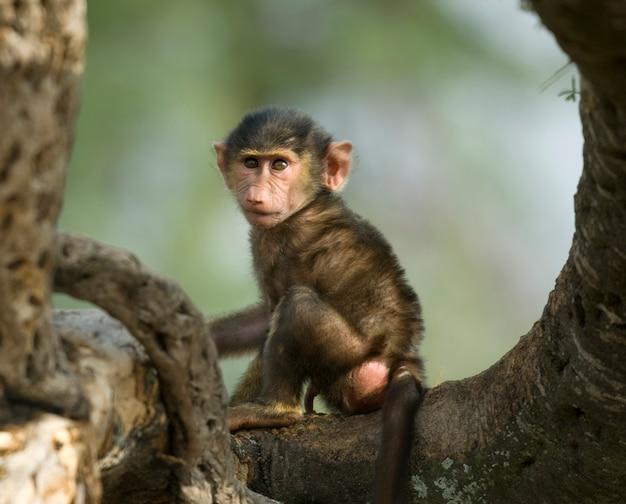 Macaco bebê sentado na árvore no serengeti, tanzânia, áfrica