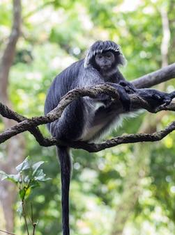 Macaco branco-preto em um galho de árvore