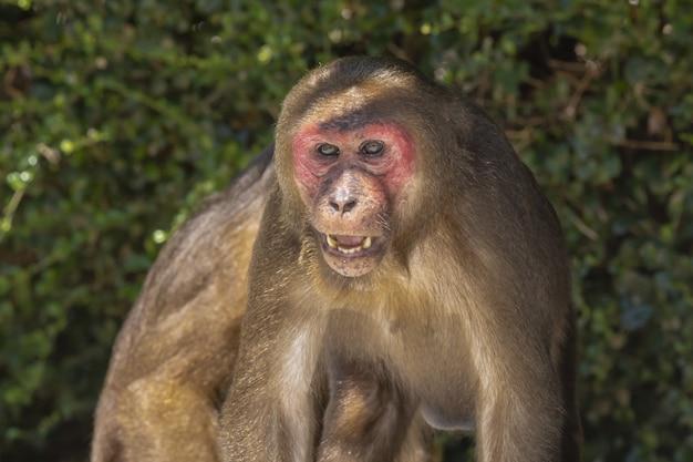 Macaco com cara vermelha na floresta