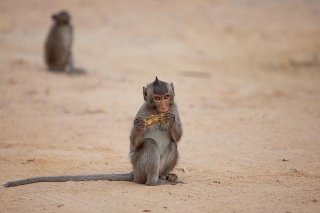 Macaco comendo abacaxi na praia