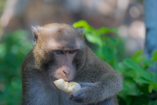 Macaco comendo banana sozinho