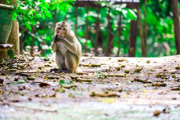 Macaco da selva está comendo rendas e frutas caindo no chão