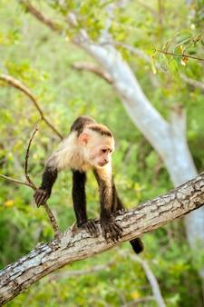Macaco de cara branca na costa rica