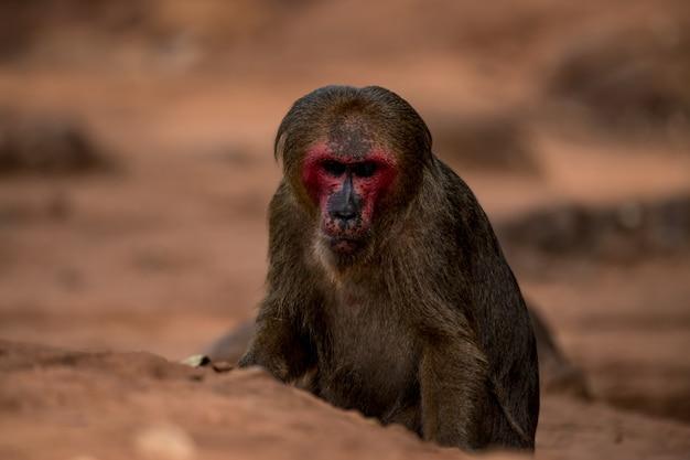 Macaco-de-cauda-coto, macaco-urso (macaca arctoides)