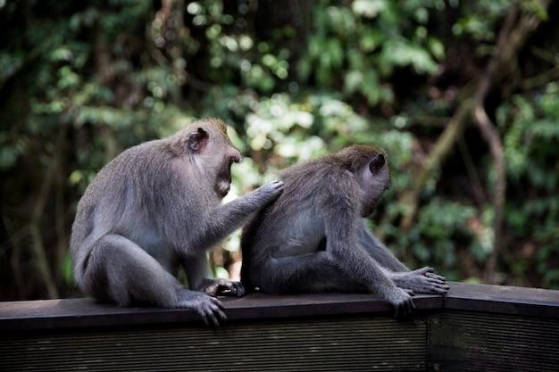 Macaco de cauda longa senta-se no muro de concreto na floresta do macaco sagrado em bali, ubud
