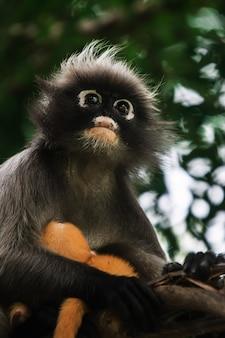 Macaco de folha escura na tailândia