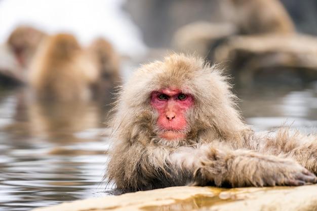 Macaco de neve japonesa