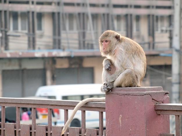 Macaco de pensamento