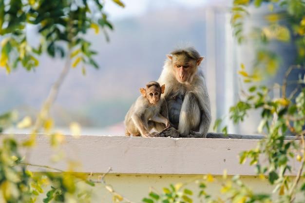 Macaco do bebê com a mãe sentada no telhado do edifício da cidade