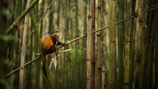 Macaco dourado selvagem e muito raro na floresta de bambu
