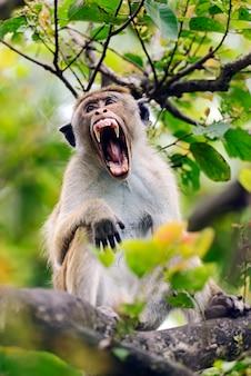 Macaco em estado selvagem na ilha do sri lanka