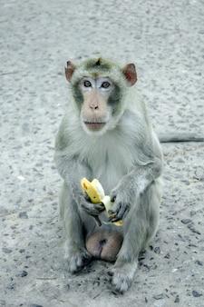 Macaco está segurando uma banana na mão.