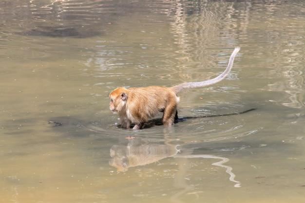 Macaco estava jogando sinuca nas florestas tropicais