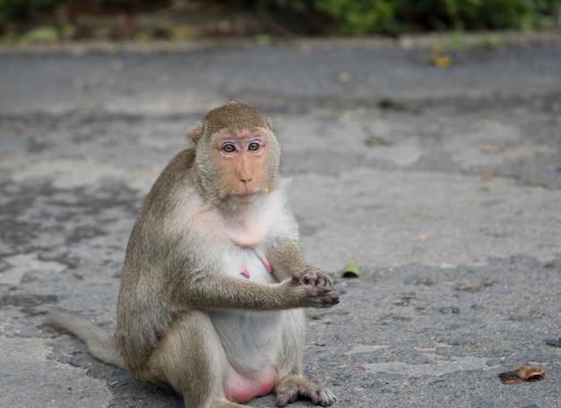Macaco fêmea grávido que senta-se na estrada asfaltada em tailândia. macaco-macaco tem pêlo marrom e mamilo rosa. a esposa do macaco esperando o marido. depressão no conceito de mulher grávida.