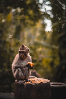 Macaco fofo comendo uma fruta