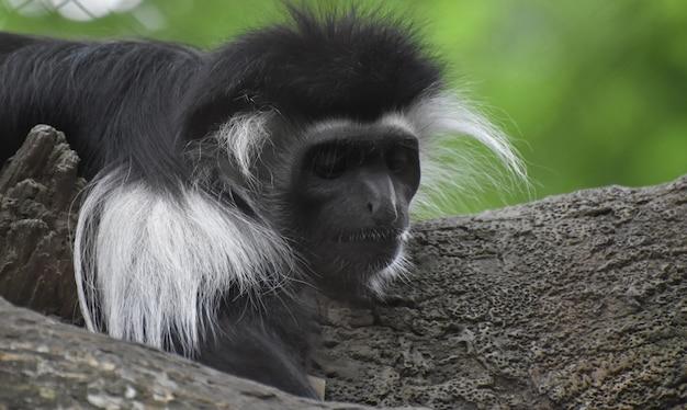 Macaco-guereza em repouso com manto apoiado no tronco de uma árvore.