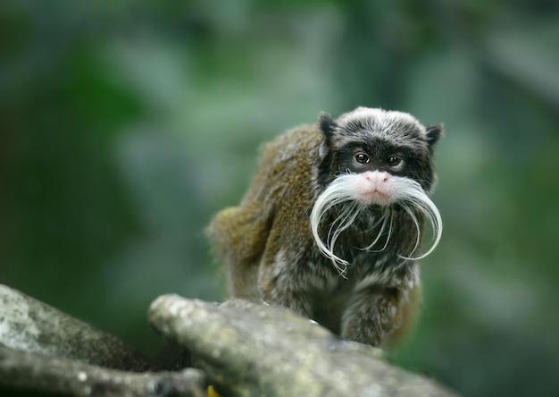 Macaco-imperador mico com bigodes enormes
