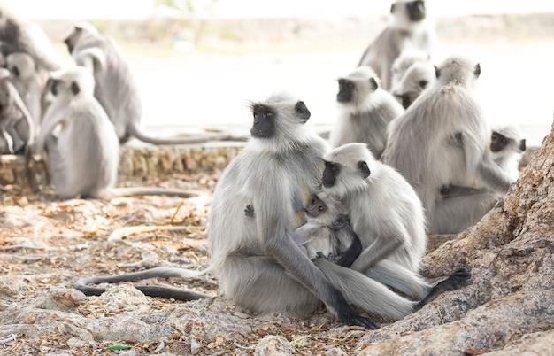 Macaco indiano também conhecido como langur indiano, hanuman langur, macaco, semnopithecus