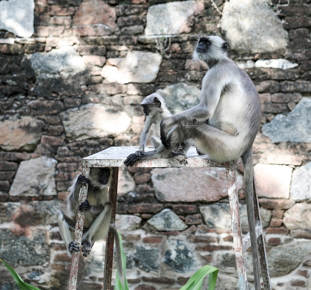 Macaco indiano