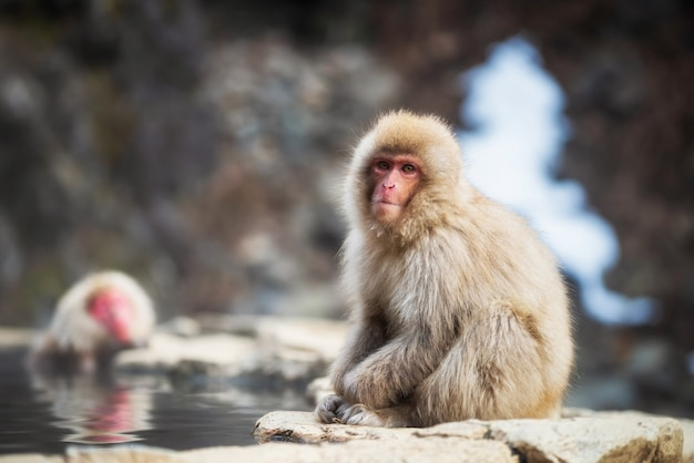 Macaco japonês de neve perto de fontes termais