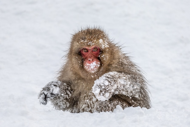 Macaco japonês sentado na neve