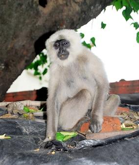 Macaco langoor cinzento indiano sentado na parede