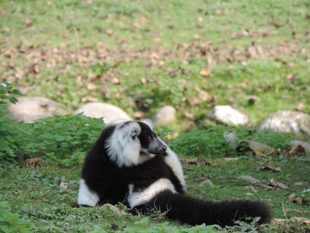 Macaco listrado preto e branco fofo em um campo verde