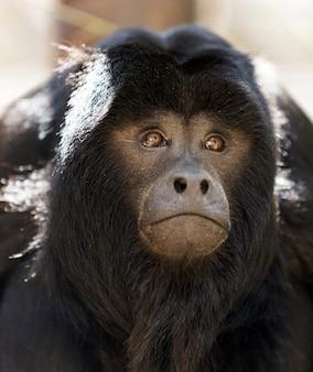Macaco loiro preto