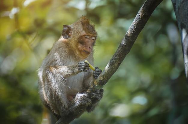 Macaco-macaco asiático relaxando no galho da floresta