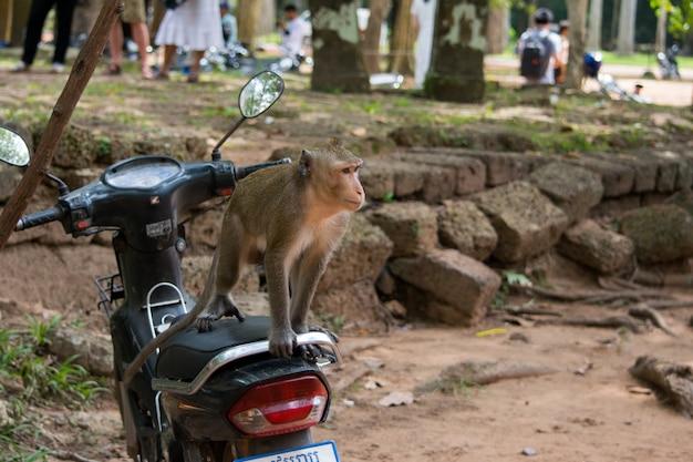 Macaco macaco em uma moto