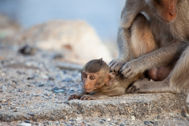 Macaco mãe cuidando de seu bebê macaco na praia