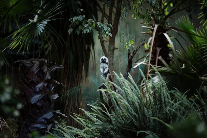 macaco-mico de algodão, pequeno macaco do novo mundo