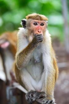 Macaco na ilha do sri lanka em estado selvagem