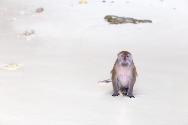 Macaco na praia