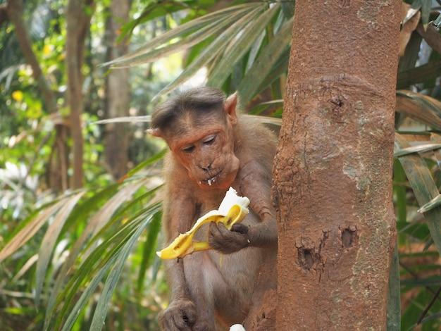 Macaco na selva, sentado em uma árvore e comendo banana
