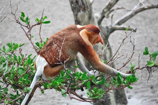 Macaco-narigudo de nariz comprido